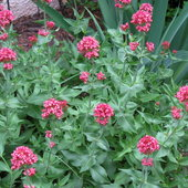 Centranthus loves hot, dry places and never stops blooming.
