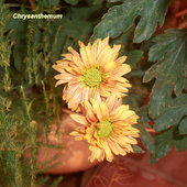 Chrysanthemum grown in pots