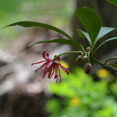 5.11.13 Illicium floridanum &#039;Woodlander&#039;s Rugy&#039; in bloom. This flower does not have a pleasant fragrance at all.