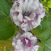 Double flowered Datura