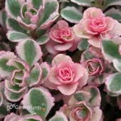 Varigated green, white, and pink Sedum
