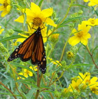 Monarch butterfly on showy goldeneye wildflowers
