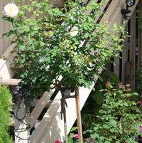 apricot nectar rose.