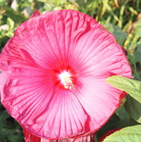 Perennial Hibiscus comes up every year