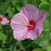 Hibiscus moscheutos 'Peppermint Schnapps'