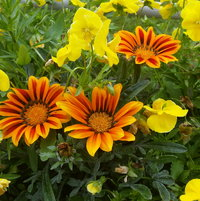 Gazania and yellow cool wave pansy