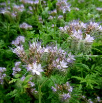 phacelia for the bees ( as is most of the garden!)