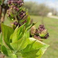 Lilac budding