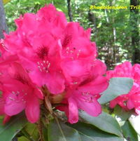 Rhododendron Trilby