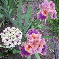 allium Silver Spring.iris Creative Accent