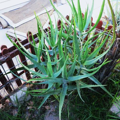 Aloe aageodonta