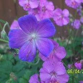 Wild geranium. Plant it once and you'll have it everywhere!
