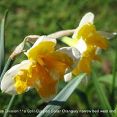 Narcissus Division 11a Split-Cupped Collar Orangery