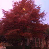 Autumn Atlas Cedar before the mess.