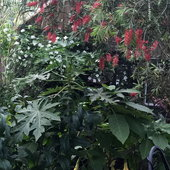 Growing up in West Africa, where the jungle literally bordered our back yard, influences the garden style I love. Papaya, Brigmansia, Bottle brush and a little Dogwood hides a greenhouse.