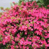 Beautiful evergreen Azalea. Unknown variety.