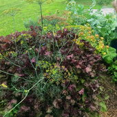 Beefsteak leaves (red perilla) makes a colorful background for dill plants. Both plants self seed themselves from year to year.