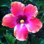 Hawaiian sunset hibiscus I believe