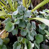 Trailing Snapdragon, Asarina procumbens