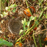 GUESS WE WERE NOT THE ONLY ONES THAT ENJOYED THE TOMATOES. CHECK OUT THE BIRDSNEST.