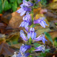 The native Giant Blue Lobelia always volunteers along the ditch and blooms in late fall.