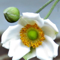 Japanese Anemone .. new plant in the Garden