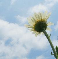 Marguerite - Daisy -  Argyranthemum (arr jer RAN the mum) -