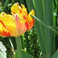 Such a pretty Tulip ..
