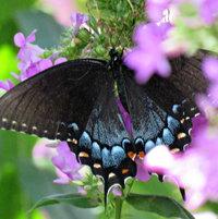Black Swallowtail (Papilio polyxenes) female ..
