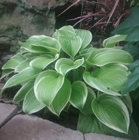 My first Hosta ever!  I was pleasantly surprised by a beautiful, white flower.