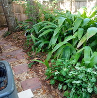 This is another path leading from the front gate to the patio. Florida palm grass proliferates here, alongside some arrowhead syngonium.