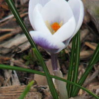 Crocus chrysanthus Blue Bird