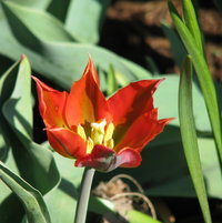 Tulip Division 8 - Viridiflora Eye Catcher