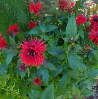 Scarlet Bee Balm (Monarda didyma)