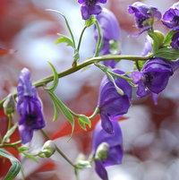 Aconitum carmichaeliiin bloom with dark purple flowers in the front garden