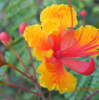 "The ""boxing glove"" flower buds open to a beautiful bloom...The Pride of Barbados."