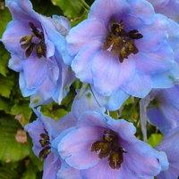 Delphinium 'Blue Dawn'