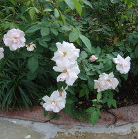 Souvenir de St Anne's is a wonderful rose for our hot Texas climate.