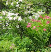 Northern Lights azaleas