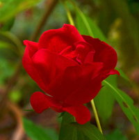 Knock Out red rose