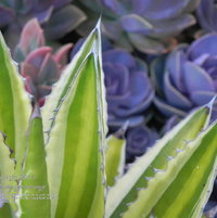 I just liked the color contrast between this Agave lophantha var. quadricolor and the lavender/purple background.