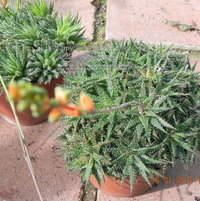 Or, is THIS Aloe haworthioides? Both have orange flowers. So, they're both Aloes.