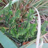 Euphorbia tithymioides (aka Pedilanthus)