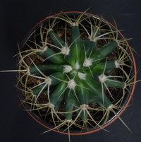 Ferocactus glaucescens - Blue Barrel Cactus - 2017-03-26 01