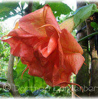 "Brugmansia ""Flammentanz""  Introduced in 2003 by Dorothea Langenberg"