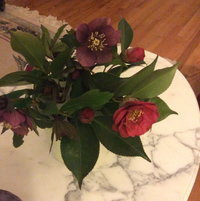 Winter Flowers: Hellebores (Lenten Roses) and Camellias