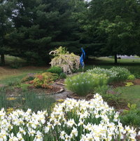 kolkwitza 'Dream Catcher', ammonia hubrechtii, weigela 'Ghost' and Siberian iris all in bloom simultaneously.  Wow.