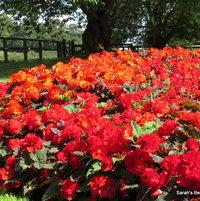 Summer gardencolour, Begonia Mocha Scarlet,deer proof, rabbit proof, low maintenance.