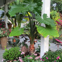 My Alocasia Portadora along with a pink penta,