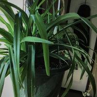 Mamma Shamrock Spiderplant